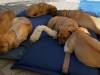 7 trætte hvalpe hviler ud 26.03.12