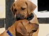De to blå hanhunde trætte efter leg 25.03.12