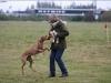 Anaya til unghundetræning 14.10.12 foto: Benny Fischer
