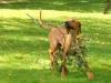 Baloo løber stolt afsted med sin gren